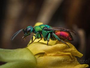 Goldwespe  (Chrysididae)
