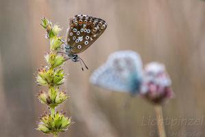 Silbergrüner Bläuling (Polyommatus coridon)  ♀