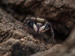 Haus-Keilspringer (Pseudoeuophrys lanigera), ♂