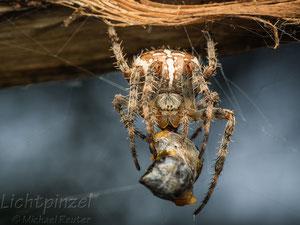 Gartenkreuzspinne (Araneus diadematus), ♀