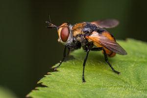 Raupenfliege (Gymnosoma sp.)