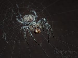 Larinioides sp., ♀