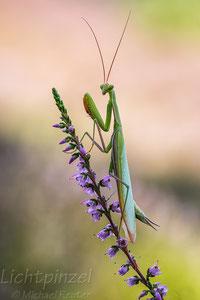 Europäische Gottesanbeterin (Mantis religiosa)  ♂