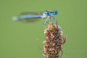 Blaue Federlibelle (Platycnemis pennipes), ♂