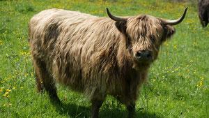 Asturia de la ferme de la Millanchère