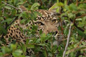 Leopardo(Panthera pardus). Botswana