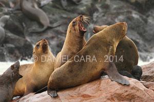 Lobos marinos en Namibia