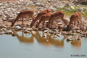 Impalas en Namibia