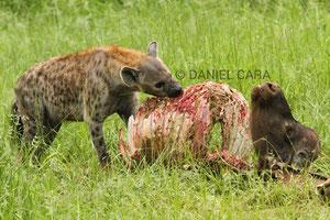 Hiena comiendose un Bufalo (Botswana)