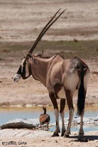 Orix en Namibia