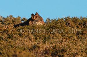 lobo ibérico en libertad en la sierra del Suido ( Pontevedra )