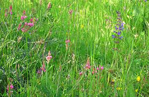 Einladende Sommerwiese mit Wiesensalbei und Esparsette
