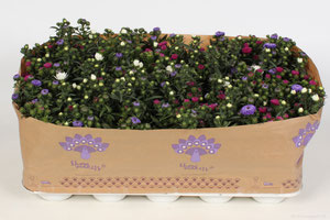 Aster Showmakers® Trio