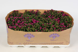 Aster Showmakers® Magenta