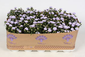 Aster Showmakers® Baby pink