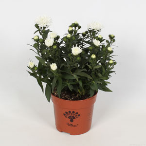 Aster Showmakers Artic white