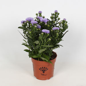 Aster Showmakers® Lavender
