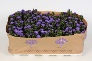 Aster Showmakers® Blue Bayou
