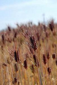 愛媛県のもち麦の稲穂
