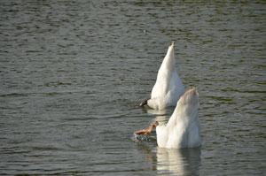 Alle meine Schwänchen schwimmen auf dem See, Köpfchen in das Wasser, Schwänzchen in die Höh.