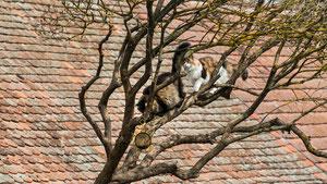 Am grossen Kratzbaum