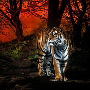 Sonnenuntergang und Tiger