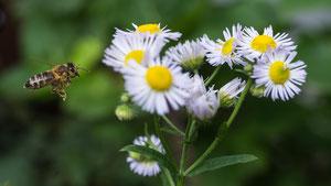 Ein Anflug von Biene