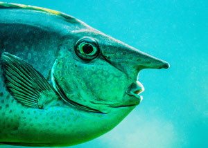 Nasenfisch im Profil