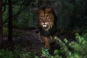 Löwe im Regen
