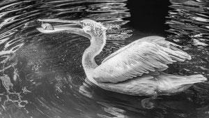 Krauskopf-Pelikan mit Fisch