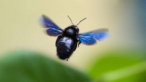 Große, blaue Holzbiene