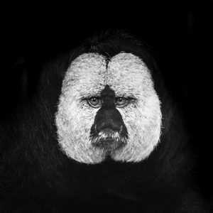 Porträt eines Weißgesichts
