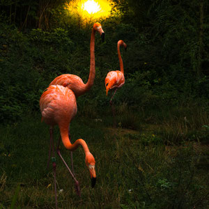 Flamingosunset