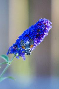Kolibrischwärmer in unserem Garten