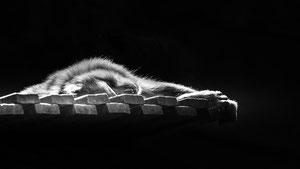 Schlafender Affe