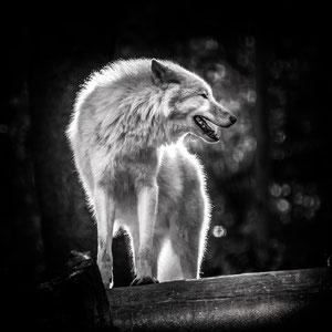 Alaskawolf