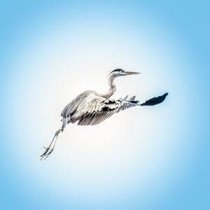 Der Flug des Graureihers