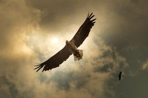 Adler im Gegenlicht