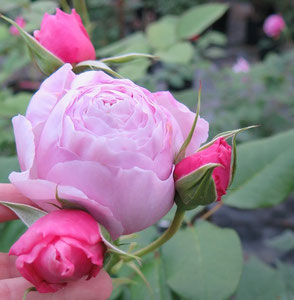 Rosa Gartentraume