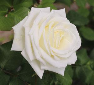 Rosa Tina