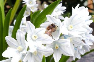 die erste Biene in diesem Frühjahr vor meiner Handylinse :-)))