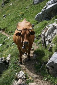 Vache de race Tarine