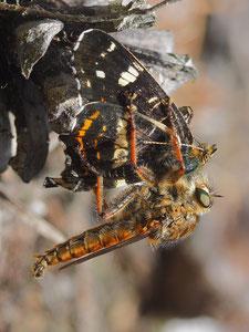 Ein mächtiger Brummer ist die Goldraubfliege. Als Beute hat sie ein Landkärtchen (Sommerform) gefangen.