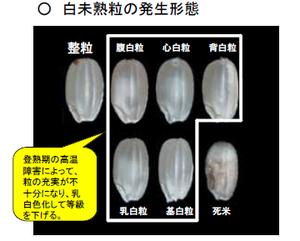 白未熟粒の発生形態