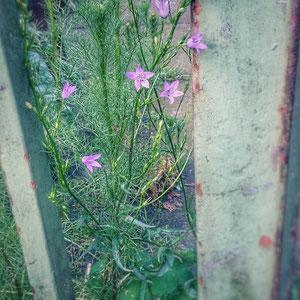 Elfenglöckchen nennt Frau Farn diese unverwüstliche Schönheit, die inzwischen durch den ganzen Garten wandert. (Wiesenglockenblume)