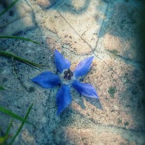 Borretsch lässt Frau Farn ob seiner wundervollen sternförmigen leuchtendblauen Blüten wachsen. Hummeln mögen ihn auch sehr gern.