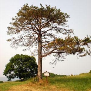 旭天鵬の木