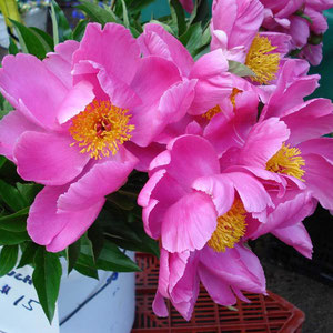 Peonies at the Boulder Farmer's Market