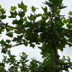 Ahornspalierbaum
