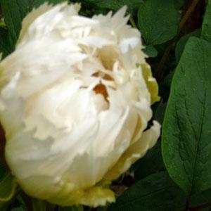 Die erste Blüte der Strauchpäonie